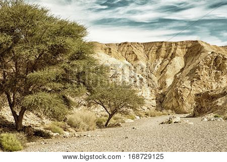 Acacia Trees at the entrance of Red Canyon tourist attraction Israel (HDR image with black gold filter)