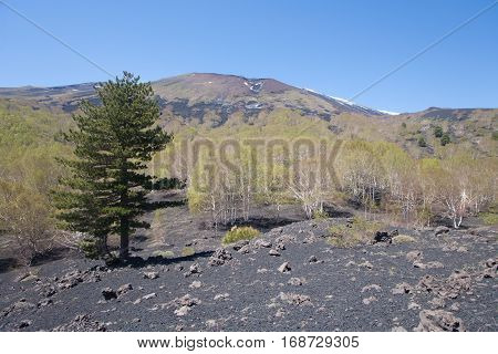 The flora near to the peak of Etna volcano in Sicily Italy