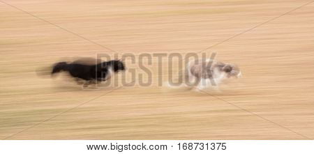 Black and white cat chasing a blue and white cat in high speed with motion blur - a comical image showing desperation of one and determination of the other