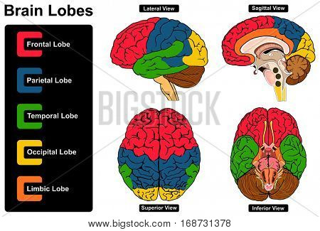 Human Brain Anatomy Set of Lateral Sagittal Superior and Inferior Views with all lobes Frontal Parietal Temporal Occipital Limbic anatomical science education nervous system route spinal cord start