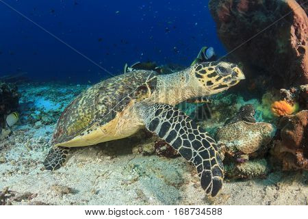 Hawksbill Sea Turtle and coral reef