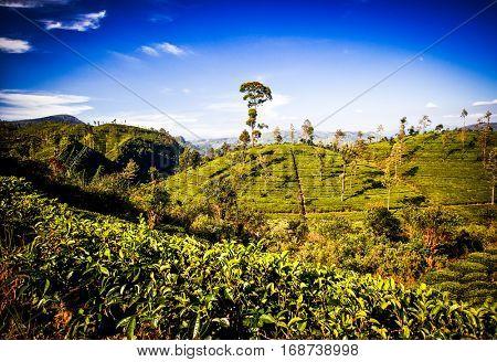 tea plantation landscape in the highlands of Sri Lanka