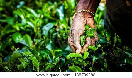 Tea picker woman's hands - close up