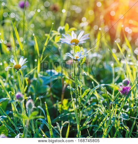 green grass and flowers with morning dew, close-up