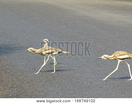 Australian Curlew bird family crossing the road