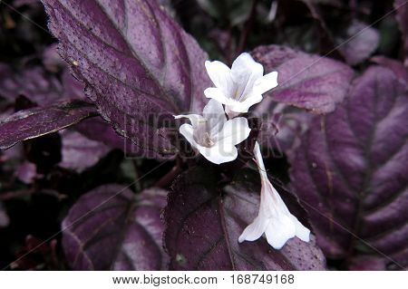 Hemigraphis alternata metal leaf ground cover foliage purple leaves white flowers