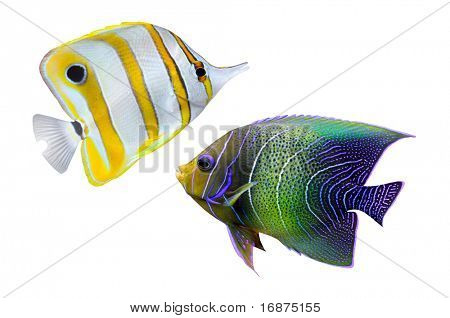 Tropical reef fish - isolated on white background