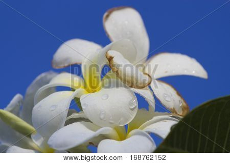 Beautiful white tropical flowers after a heavy rain