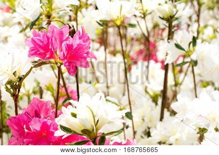 Pink azalea flower in front of white azalea flowers