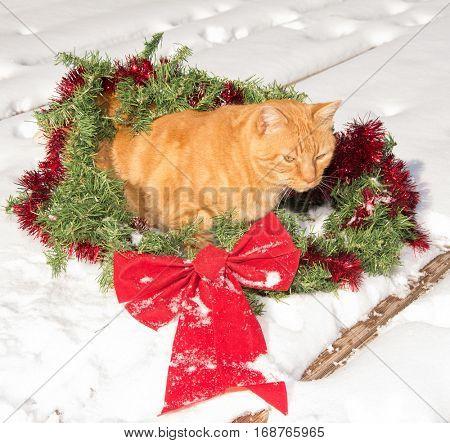 Ginger tabby cat inside a Christmas wreath, on snow