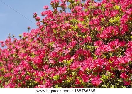 Bright red azalea flowers under blue sky