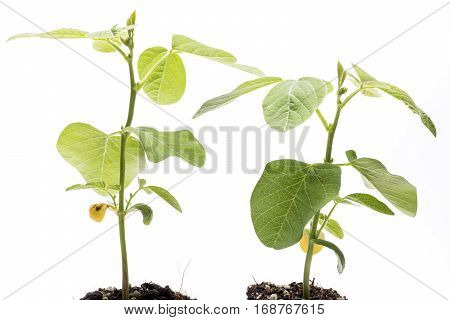 Green soybean plants in front of white background
