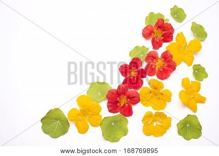 Arranged orange and yellow nasturtium flowers with leaves on white