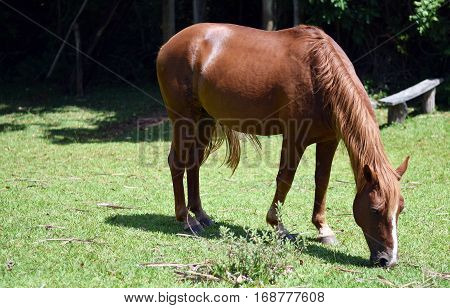 Beautiful Horse Eating Grass