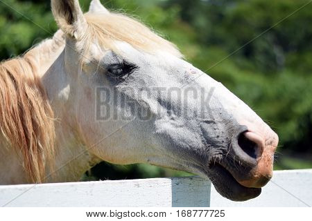 Head Shot Of A Beautiful White Horse
