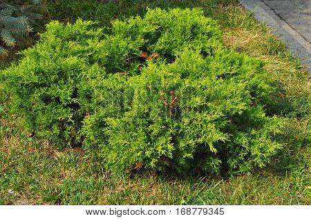 Close up on Bush of juniper the evergreen coniferous plant with scale-like leaves. Junipers are coniferous plants in the genus Juniperus of the cypress family Cupressaceae.