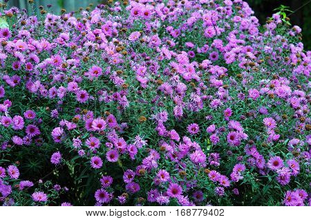 Blooming Aster amellus the European Michaelmas Daisy or Purple asters at the park