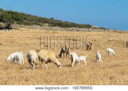 Farm with goats at Paros island in Greece.