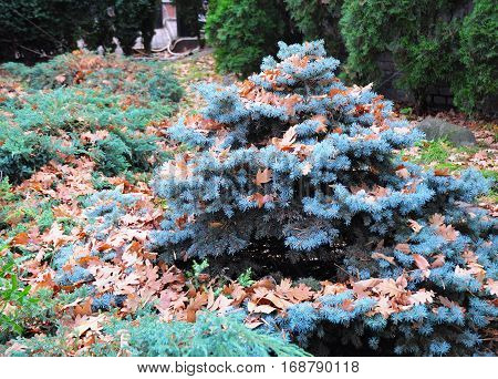 Small Blue spruce with oak leaves in autmn. Landscape design. Blue spruce green spruce white spruce with the scientific name Picea pungens is a species of spruce tree.