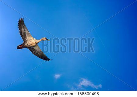 Beautiful bird in flight against blue sky background