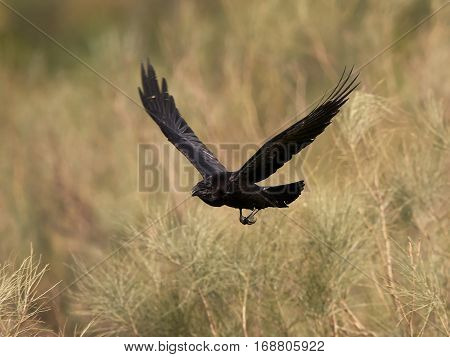 Common raven in flight with vegetation in the background