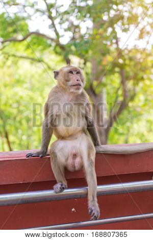 Portrait of crab-eating macaque in national park Thai monkey.