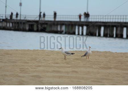seagulls on the beach at Altona, Melbourne