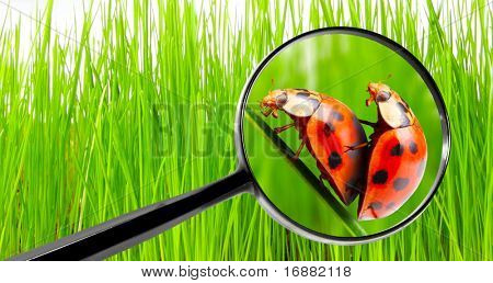 Magnifying glass and love-making ladybugs couple on a dewy grass. Love metaphor.