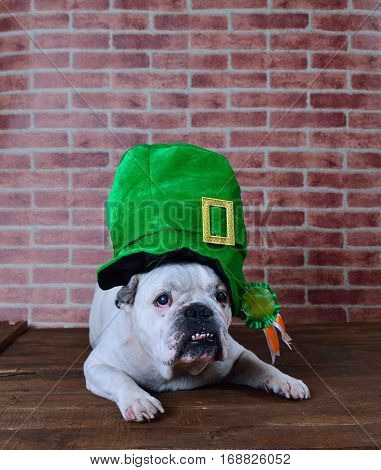 Portrait of French bulldog angry with a Saint Patrick cap