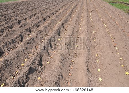 Planting potatoes. Potato field. Tutorial step by step.