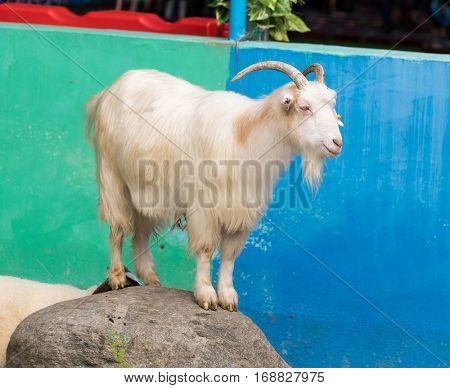 portrait of one white goat standing on rock