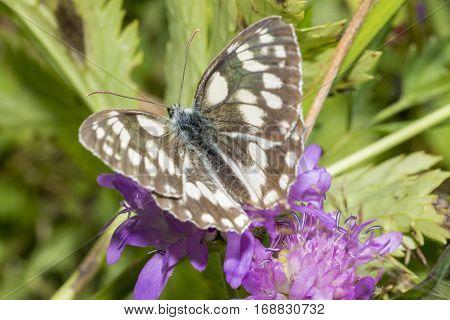 Butterfly with spread wings on purple flower