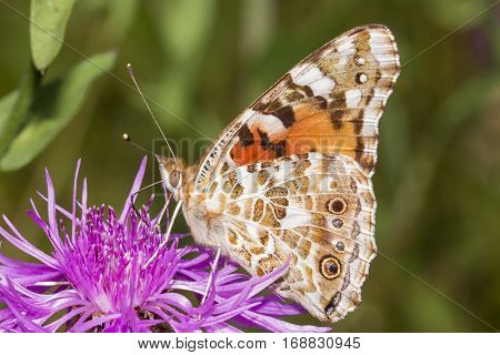 Close up of a butterfly feeding on a purple flower
