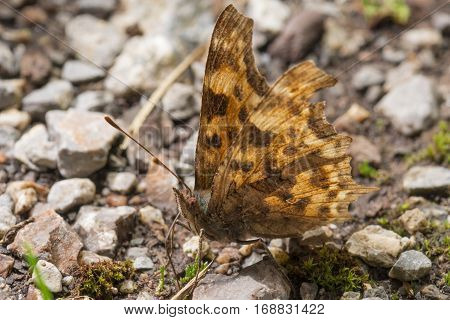 Orange butterfly with wings spread resting on ground