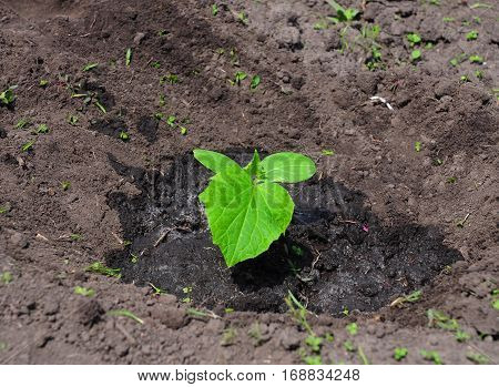 Planting cucumber seedlings. Cucumber plant. Tutorial step by step.