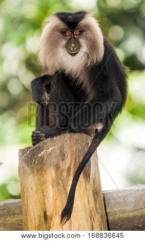 Rare beard monkey in Thailand sitting on a tree