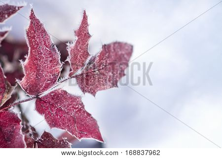 Beautiful winter image - close up of frozen tree branch and red leaves covered with rime - photo with tilt-shift effect