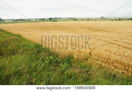Close up of a wheat field in Ukraine