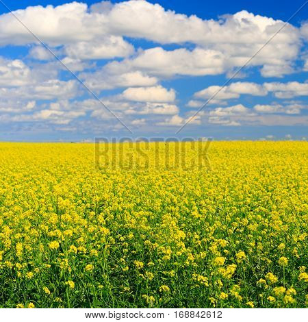 Field of canola with beautiful summer clouds in the sky.