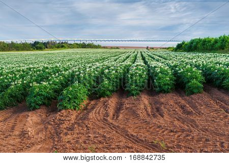 Rows of flowering potato plants in a Prince Edward Island potato field with the Confederation Bridge in the distant background.