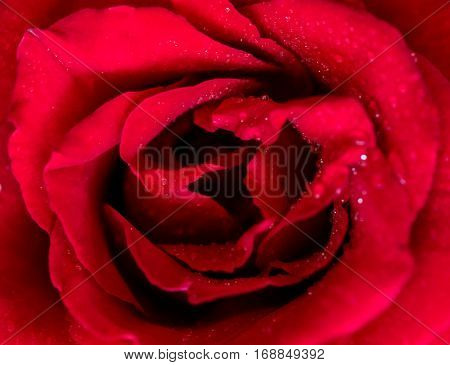 Close up of red rose flower for Valentine's day and Sweetest day holiday background.