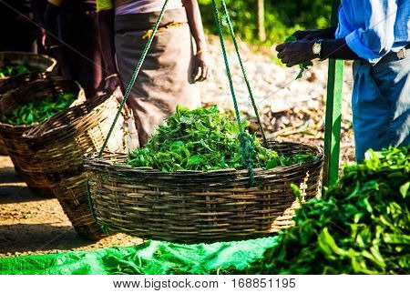 Fresh tea leaves are collected in baskets for further processing