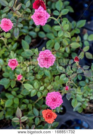 Valentines day and sweetest concept, rose flower in the garden