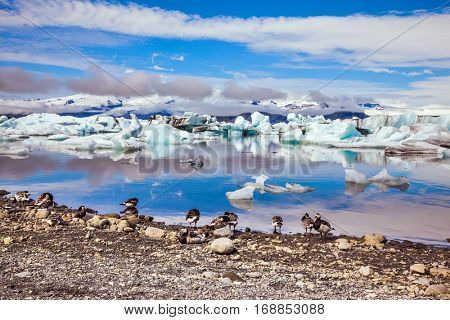 Several geese grazing on the coast of lagoon. Sunrise illuminates the glacier Vatnajokull and water of Ice Lagoon Jokulsarlon. The concept of northern ecotourism