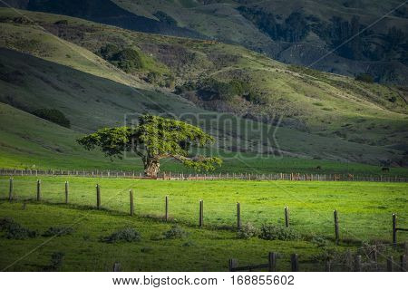 Amazingly beautiful lush green sunlit cypress tree in pasture with hill in background