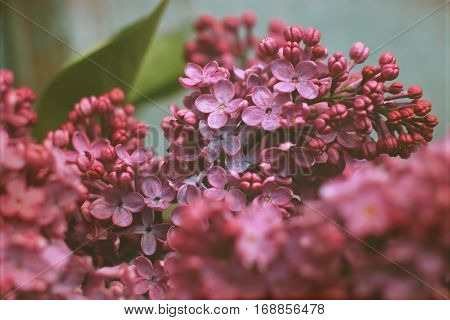 The flowers are lilac pink. Lilac. Spring flowers. Macro. Freshness. Nature.