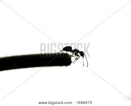 Suicidal Ant