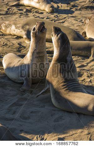 Rare recovering population of elephant seals wintering on beach in San Simeon California