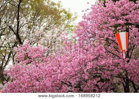Background Pink Kawazu Cherry Blossom branches in horizontal frame during Hanami festivals