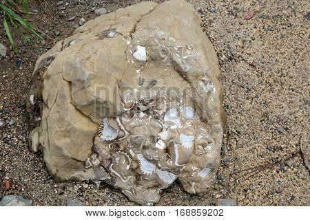 Fossilized seashells in a rock. Fossilized marine life is a living example of life from millions of years of past history of earth. Marine and land animals died of various causes and became fossilized